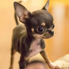Effective Potty Training Chihuahua Consistency Is Key Ideas. Brilliant Potty Training Chihuahua Consistency Is Key Ideas. Cute Teacup Puppies, Cute Dogs And Puppies, I Love Dogs, Teacup Dogs, Doggies, Chihuahua Miniature, Sweet Dogs, Baby Chihuahua, Little Dogs