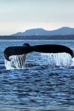 Découvrez ces inoffensifs géants de la mer! Les plus grandes créatures de la planète s'avèrent fascinantes à observer, et sept espèces différentes de baleines se plaisent à explorer le secteur Forillon-Percé dont la toujours impressionnante baleine bleue. Photo : Marc Loiselle. Circuit, Explorer, Whale, Photos, Animals, Blue Whale, The Sea, Sailor, Impressionism