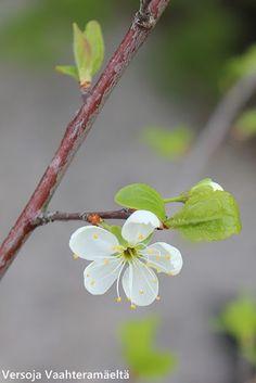 Versoja Vaahteramäeltä: keltaluumu ´Laatokan Helmi` Prunus domestica ´Onega` Prunus, White Flowers, Helmet, Hockey Helmet, Peach, Cherry