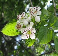 Hawthorn Berries: Nature's Restaurant: A Complete Wild Food Guide - Fields, Forests & Wetlands Foods of Eastern North America Street Trees, Sun And Water, Tree Seeds, Cherry Tree, Flowering Trees, Trees To Plant, Missouri, Gardening Tips, Berries
