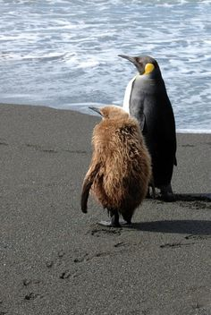 An ugly penguin BB is waiting to be a beauty. Like Animals, Baby Animals, Penguin Love, King Penguin, Steampunk Animals, Ostriches, Sea Birds, Beautiful Birds, Beautiful Creatures