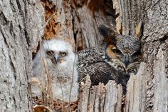 Source: Flickr / jibby203  #great horned owl