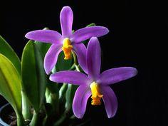 Minhas Plantas | A micro orquídea que cresce direto em pedras.