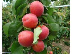 Nově naskladněno - Zahradnictvi Spomyšl Plum, Fruit