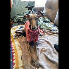 #iggy #italiangreyhound #italiangreyhoundwear #levretki #levretka #levrieritalien #dog #doggear #dogwear #dogapparel #italiangreyhoundwear #italiangreyhoundclothes #italiangreyhoundjammies #dogfashion #dogcuture #dog #iggywears #iggyjammies #italiangreyhoundonesie #sweater #wool #jumper #crochet #dogcrochetsweater #handmade