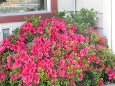 azalea girard rose   PlantFiles: Picture #3 of Azalea 'Girard's Rose' (Rhododendron)
