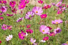 cosmos flower - joy in love and life