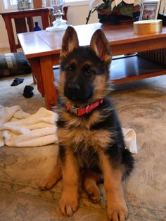 german shepards Post with 0 votes and 376 views. Our new German Shepard puppy! Gsd Puppies, Cute Dogs And Puppies, I Love Dogs, Doggies, Retriever Puppies, Labrador Retrievers, Golden Retrievers, German Shepherd Videos, German Shepherd Puppies