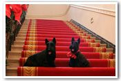 Barney and Miss Beazley sit on the Grand Staircase at the White House, Thursday, Nov, 30, 2006