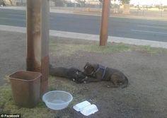 pit bull permanece 14 horas al lado de perro muerto