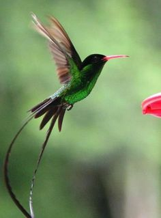 The hummingbird - the bird of Jamaica