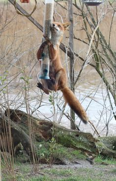 Red Fox on the Bird Feeder