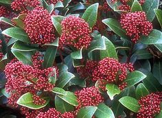 Google Image Result for http://skimmia.co.uk/wp-content/uploads/2010/12/skimmia-pic.jpg