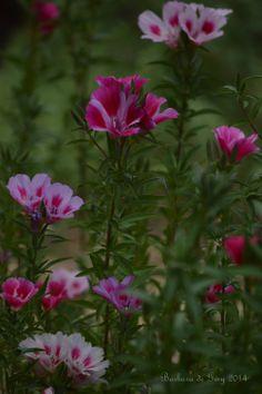 Clarkia Amoena from Gamble Garden's California native section.