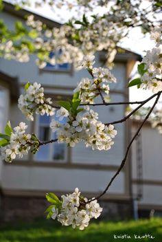 Kuistin kautta: Valkoisena kukkivat puut
