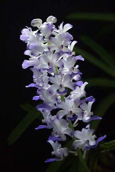 Rhynchostylis Coelestis X Retusa | Rhynchostylis coelestis blue