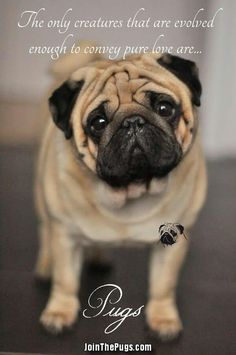 "Obtain terrific ideas on ""pug dogs"". They are actually offered for you on our website. Cute Pug Puppies, Black Pug Puppies, Cute Pugs, Terrier Puppies, Bulldog Puppies, Funny Pugs, Boston Terrier, Doggies, Lab Puppies"