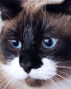 Mr. Blue Eyes (by ChunksMom) -via MostlyCats,Mostly.tumblr.com