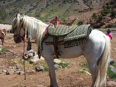 Berber Horse by Sylvia Dubery, via Flickr