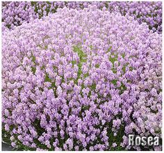 Find help & information on Lavandula angustifolia 'Hidcote Pink' English lavender 'Hidcote Pink' from the RHS Plants, Lavender Seeds, Olive Garden Delivery, Lavender Hidcote, Lavandula Angustifolia, Flower Spike, Lavender Plant, Herb Seeds, Fragrant Roses
