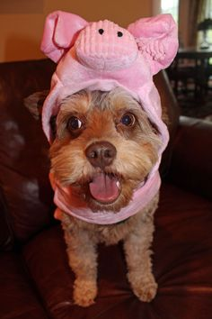 Halloween Costumes for Dogs- Looks like I could have had a pig for a pet all along! Pig Halloween Costume, Dog Halloween, Animal Costumes, Pet Costumes, Silly Dogs, Cute Animal Videos, Cute Animal Drawings, Cute Baby Animals, Yorkie