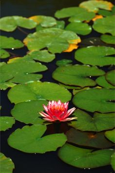 Water Lily infuses the skin with gentile tranquility.