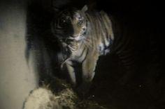 CCTV camera footage from tiger den Picture by: Mari Lehmonen (2016) Helsinki Zoo archives - Katso kuva Flickrissä: http://www.flickr.com/photos/61934286@N04/26629732374