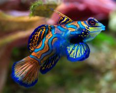 mandarin goby we had a salt water tank once. We had one of these little guys. They're bottom dwellers, but so curious AND interesting to watch