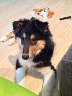 Amorwood's Joy n'Special: First morning in my new home. Rough Collie Puppy, Collie Puppies, Husky, Corgi, Joy, Animals, Corgis, Animales, Border Collie Pups