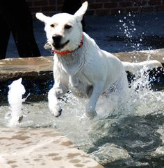 The Grand Pet Resort - Fort Worth, Texas - Dog playing in outdoor pool area by Animal Arts Design Studios