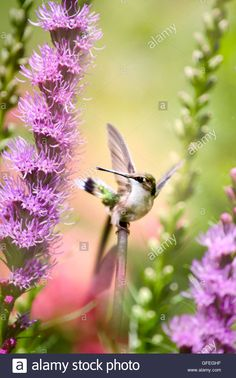 Download this stock image: Ruby Throated Hummingbird - GFEGHF from Alamy's library of millions of high resolution stock photos, illustrations and vectors.