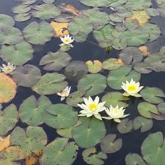 Miniature water lilies. The shop will be open from 10 until noon today. #pondplants  Neptune's Water Gardens is the premier water feature design and installation company in the #Omaha Metro area. Our naturally balanced low-maintenance ecosystem ponds work with Mother Nature not against her. We pride ourselves in creating water features that appear to have always existed in their surrounding landscape. Whether you choose an ecosystem #pond decorative #fountainscape #Pondless #Waterfall or the…
