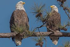Berry College Eagle Pair