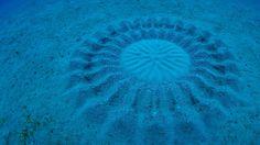 Sand pattern made by a pufferfish near Amami Ōshima, Kagoshima, Japan (© Yoji Okata/Minden Pictures) – 2016-08-26 [http://www.bing.com/search?q=Torquigener+albomaculosus&form=hpcapt&filters=HpDate:%2220160826_0700%22]