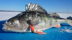 Pohjoisen pallonpuoliskon kovin ja komein kalaporukka