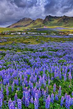 Lupins  are in full bloom, Vik, Icelandic