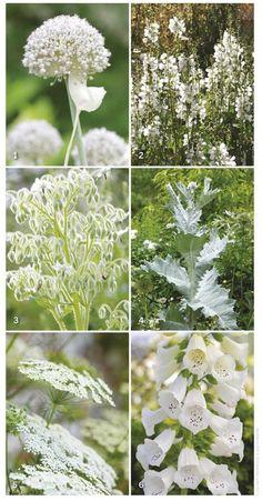 4 White garden flower choices high summer performers