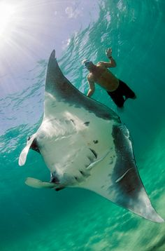 Snorkerler and Manta Ray (Manta birostris) offshore Palm Beach, FL by Michael Patrick O'Neill