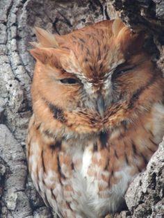 OOOO! Wild Birds Unlimited, Owls, Animals, Animales, Animaux, Owl, Animal, Animais, Tawny Owl