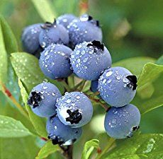 How to grow blueberries at home - soil preparation, soil pH, which blueberries to grow, how much water blueberries need, best mulch for blueberries.