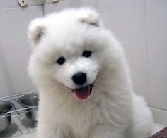 Pin Samoyed Puppy Pictures And Photos Puppies Wallpaper Picture on . Small Dogs For Kids, Best Small Dogs, American Eskimo Dog, Cute Puppies, Dogs And Puppies, Doggies, Fluffy Puppies, Big Fluffy Dogs, Lap Dogs