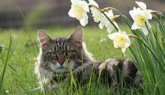 Mi gato envejece - http://www.notigatos.es/mi-gato-envejece/