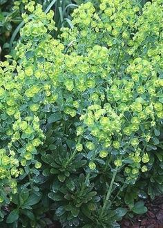 Potager Garden Robb's Spurge for sale buy Euphorbia robbiae - Euphorbia robbiae (Robb's Spurge) : (syn: Euphorbia amygdaloides var. robbiae) One of the finest euphorbias, this deer-resistant dark green euphorbia more closely resembles a forest o. Rabbit Resistant Plants, Drought Resistant Plants, Drought Tolerant Landscape, Rock Garden Plants, Cottage Garden Plants, Shade Garden, House Plants, Wisteria Garden, Dry Shade Plants
