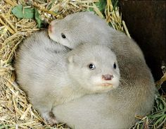 A pair of extremely rare white otter cubs have been born at the Blue Planet Aquarium in the UK. The duo are part of a litter of three baby Asian short claw otters born at the aquarium at the end of March.    Read more: http://www.nydailynews.com/life-style/albino-animals-gallery-1.26671#ixzz1udODtN25