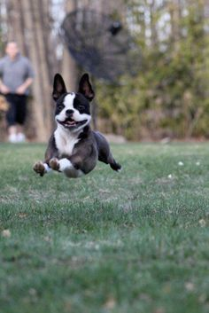 The traits I enjoy about the Bright Boston Terrier Puppies Brindle Boston Terrier, Boston Terrier Love, Boston Terriers, Terrier Breeds, Terrier Puppies, Bull Terrier, Dog Breeds, Cute Puppies, Cute Dogs