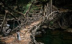 Impressive Tree Root Bridge in India -THESE BRIDGES ARE NOT BUILT, Villagers create 'living' crossings by training roots across a river. These Living Root Bridges are located in Meghalaya, India -  original source, Most Beautiful Pages