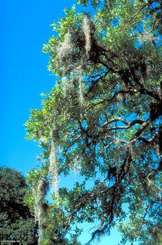 Spanish moss (tillandsia usneoides). Necessary beyond belief.