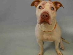 ++A Great Boy - Blind since 3 months - JINX – A1078595 MALE, WHITE / BROWN, AM PIT BULL TER MIX, 5 yrs OWNER SUR – EVALUATE, NO HOLD Reason PETS CONFL Intake condition UNSPECIFIE Intake Date 06/23/2016, From NY 10457, DueOut Date 06/23/2016,
