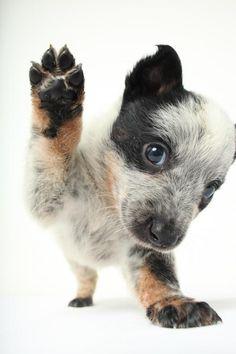 Meet Billy Bob D150663, a Petfinder adoptable Australian Cattle Dog (Blue Heeler) Dog | Minnetonka, MN | Name: Billy BobAge: Approximate date of birth 4/19/2015Gender: MaleBreed: Australian Cattledog mix,...