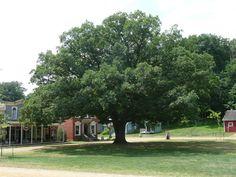 A beautiful old oak tree on a village green, Old Oak Tree, Lightning Strikes, Dolores Park, Sidewalk, Green, Travel, Beautiful, Walkway, Voyage